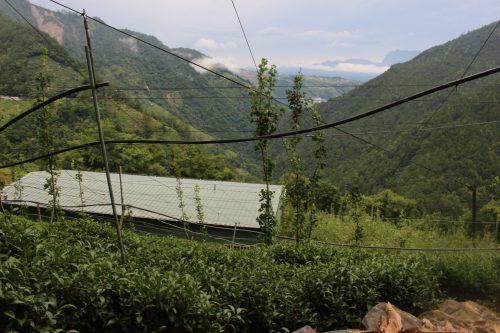 大禹嶺の茶園