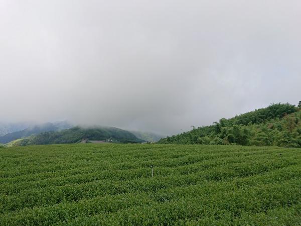 阿里山の茶園を覆う雲