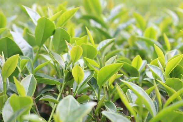 きれいな台湾茶の葉